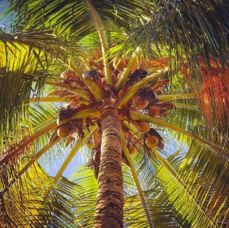 Hotel Paraiso del Cocodrilo: Looking up at a Coconut Palm's Bounty!