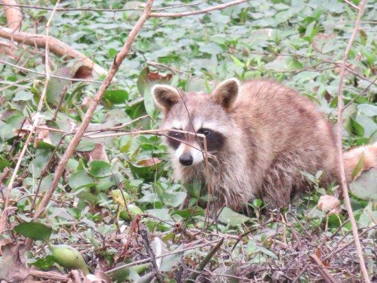 Gibson, Λουιζιάνα: Raccoon