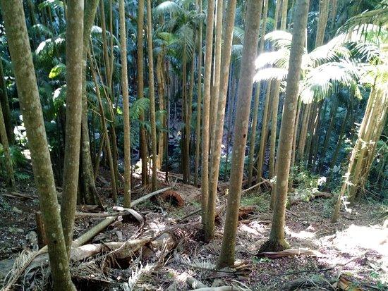 Tamborine Mountain, Australia: Nice short rain forrest walk