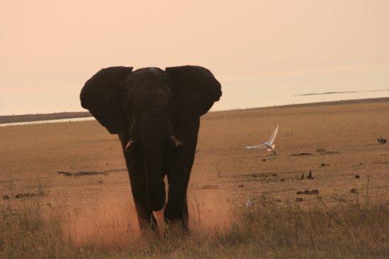 Kariba, Zimbabwe: Elephant charge on the Spurwing Island Game Drive