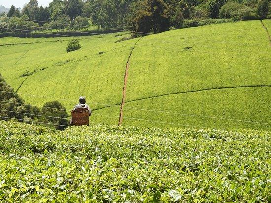 Limuru, Kenya: Tee Felder mit Arbeiter