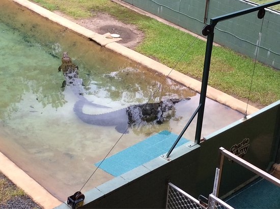 Saltwater Crocodiles Charlie And Amy Photo De Australia Zoo