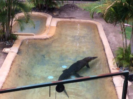 Saltwater Crocodiles Charlie And Amy Obrazok Australia Zoo