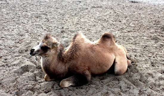 Hunder Sand Dunes DOUBLE A CUTE HUMPED CAMEL BACTRIAN RIDE AT HUNDER