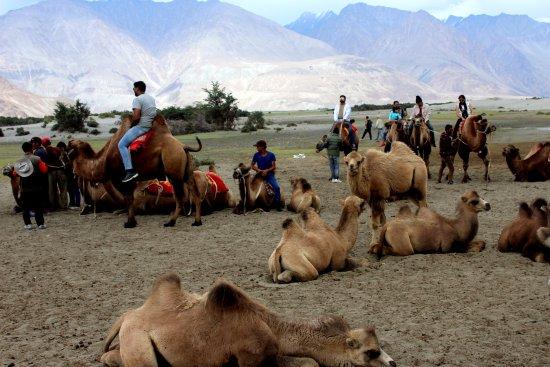 Hunder Sand Dunes DOUBLE HUMPED CAMEL BACTRIAN RIDE AT BEAUTIFUL HUNDER