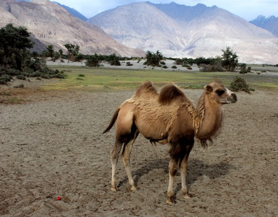 Hunder Sand Dunes A CUTE DOUBLE HUMPED CAMEL BACTRIAN AT HUNDER