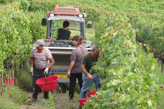 Borgo Argenina: The harvest