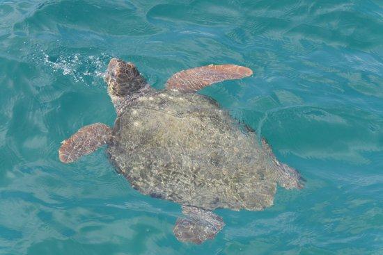 Louis Zante Beach Hotel: Schilkröten kommen zum Luftholen oft nach oben