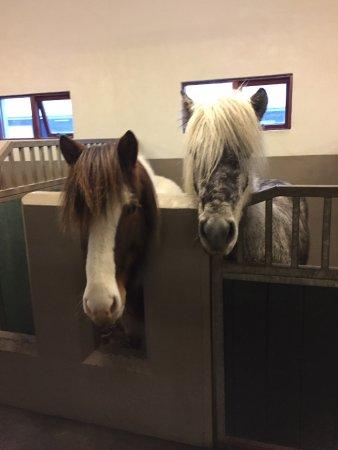 Hafnarfjordur, Islândia: In the stable at Hraunhestar.