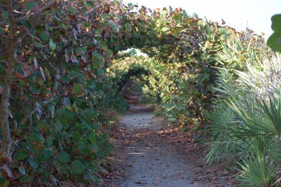 Hobe Sound, FL: Path through the seagrapes.