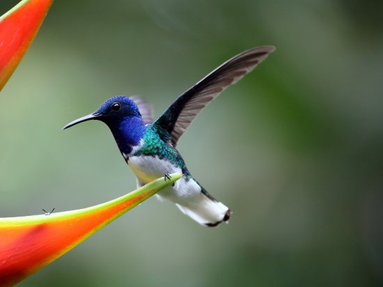 La Virgen, Costa Rica: Hummingbird