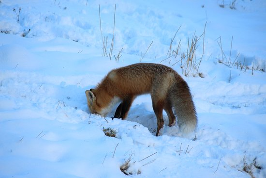 Bridge Lake, Canada: red fox hunting