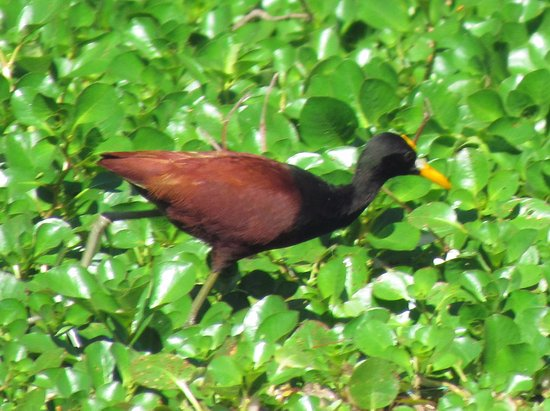Honduras: NorthernJacana