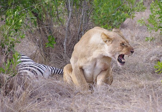 Royal Mara Safari Lodge: Lioness with kill