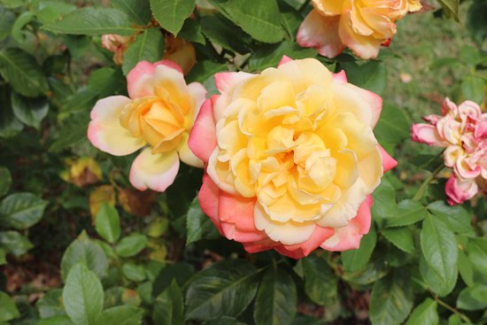 Lyndoch, Australia: roses with different colors
