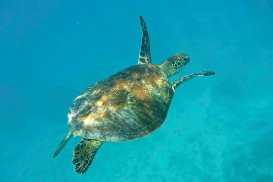 Heron Island, Australien: Swimming with turtles