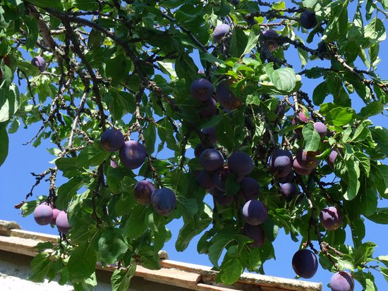 Esperaza, France: Our home grown plums