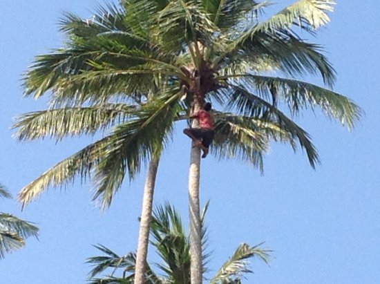 เมอร์เมด โฮเต็ล & คลับ: Tree climber removing old fronds and new flowers to make it safe.