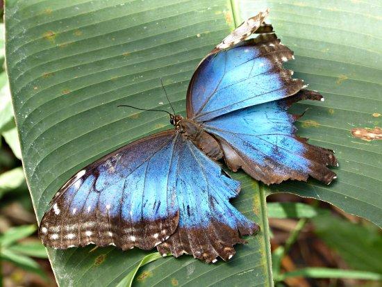 Butterfly Haven : A blue morpho butterfly