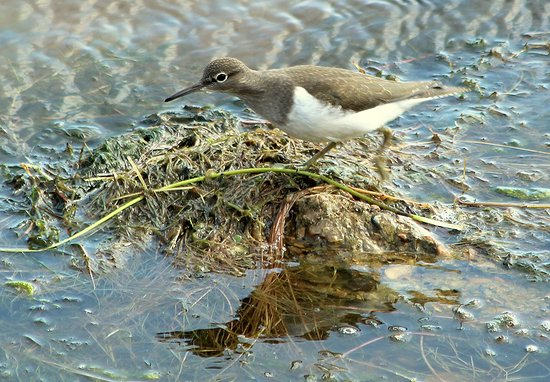 Sandwich Bay Bird Observatory: Common Sandpiper