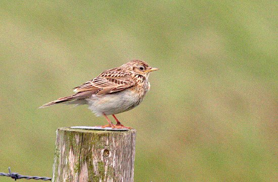 Sandwich Bay Bird Observatory: Meadow Pipit