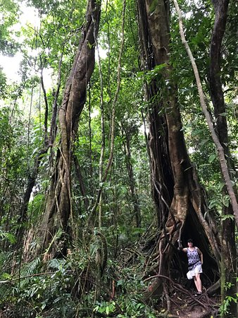 Daintree Region, Αυστραλία: Strangler flgs with wife for scale