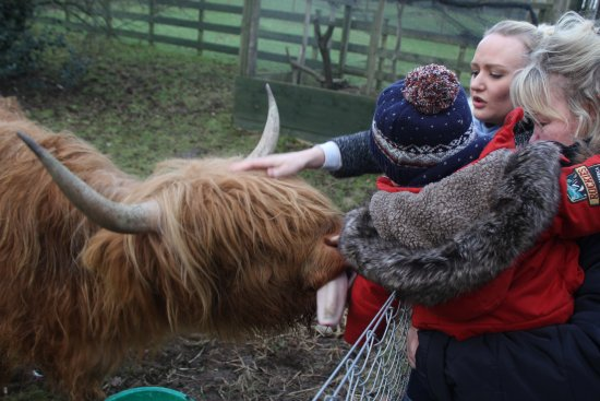 Comrie, UK: Highland cow with the family. Grandson didn't like being licked !