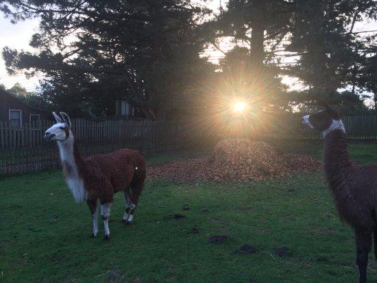 Little River, Kalifornia: Llamas on the property