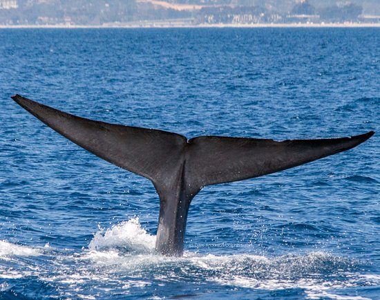 Dana Point, Kalifornia: Massive tail flukes from the largest animal on earth, the blue whale, seen during Captain Dave's