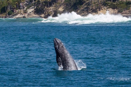Dana Point, Kalifornia: A gray whale launches out of the water during Captain Dave's Whale Watching Safari