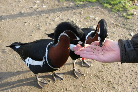 Slimbridge, UK: Feeding the Nene Geese (great fun)