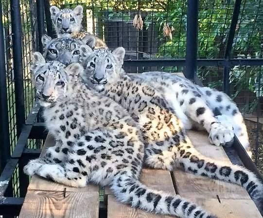 Tulsa Zoo: Three New Snow Leopard