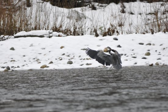 Mount Vernon, WA: Blue Heron landing on the water