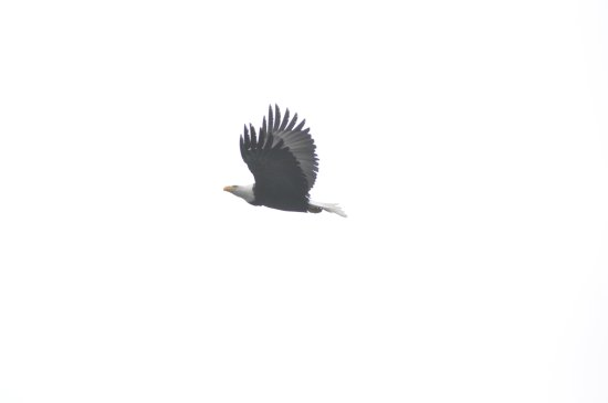 Mount Vernon, WA: Bald Eagle in Flight