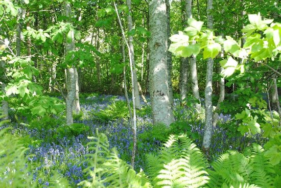 Kilmartin, UK: Bluebells in bloom - May 2016