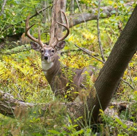Depew, Estado de Nueva York: beautiful buck