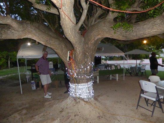 Gun Bay, Gran Caimán: The big tree
