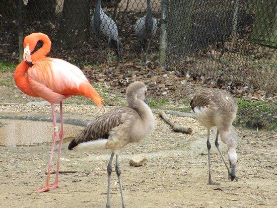 Scotland Neck, Karolina Północna: young flamingos