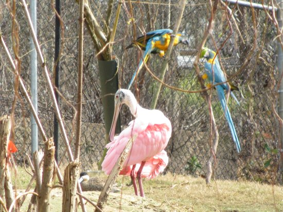 Scotland Neck, Karolina Północna: spponbill and parrots
