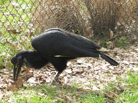 Scotland Neck, NC: Abyssinian Ground Hornbill