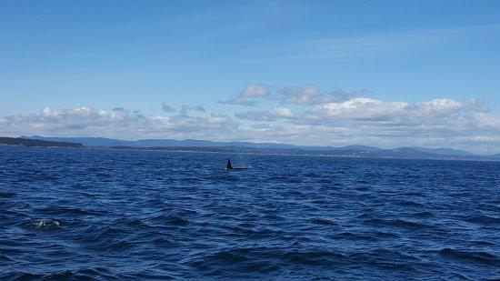Port Angeles, WA: Orcas everywhere