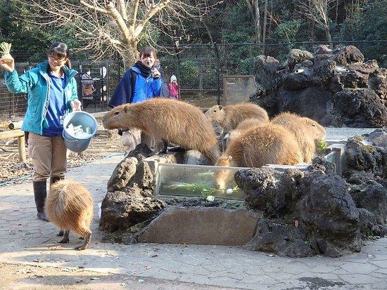 こども動物自然公園, 意外とデカい カピバラ
