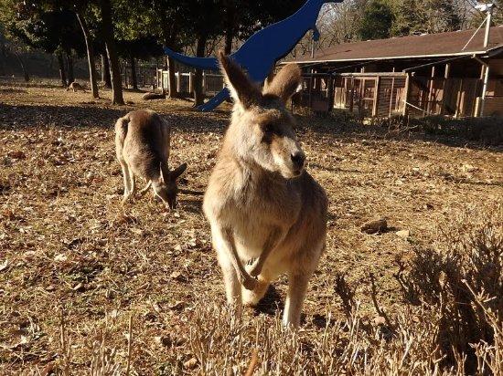 こども動物自然公園, カンガルー近い