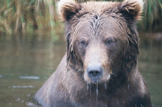 Parque Nacional y Reserva Wrangell-St Elias, AK: Bear found in lake in the way to McCarthy