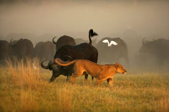 Bulawayo, Zimbábue: Buffalo Diffence !