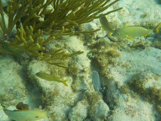 Bodden Town, Gran Caimán: Snorkeling at Turtle Neck Inn