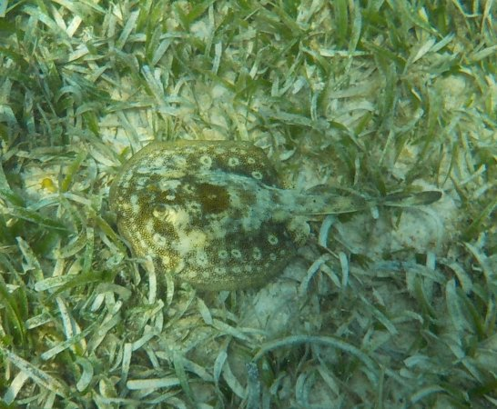 Bodden Town, Gran Caimán: I think I see a stingray! Snorkeling at Turtle Neck Inn