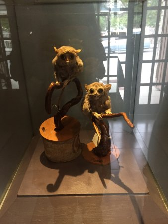 Bohol National Museum: preserved tarsiers