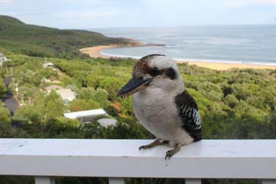 Killcare, Австралия: Kokaburra perched on balcony above Putty Beach. The far end of the beach is in Bouddi National P