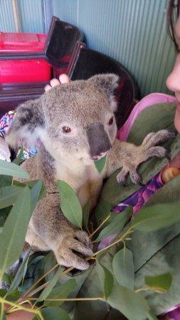 Byford, Australia: Cute Koala